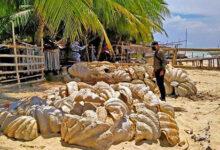 Photo of الفليبين تصادر أصداف عملاقة جُمعت بطريقة غير قانونية وقيمتها 25 مليون دولار!